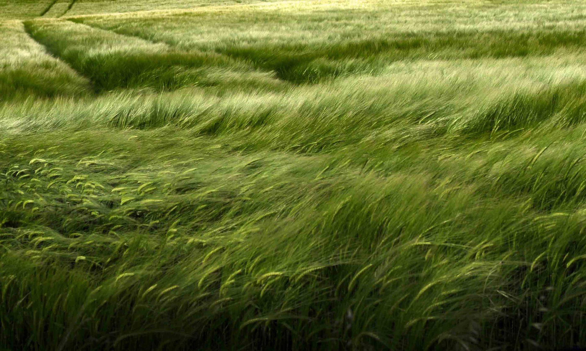 Grande prairie d'herbe verte avec champ de blé