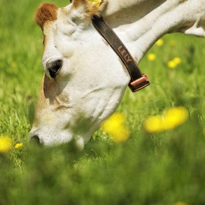 Les 2 Vaches, vaches dans un champs qui broute
