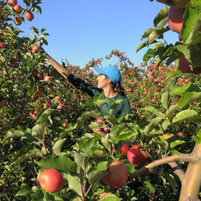 une femme cueille une pomme Pink Lady dans un verger